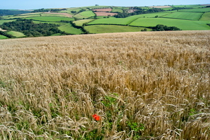 Poppies grow amongst barley in a River Dart valley agricultural landscape, Devonの写真素材 [FYI03761669]