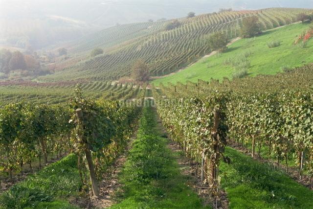 Vineyards near Serralunga D'Alba, Piedmontの写真素材 [FYI03761772]
