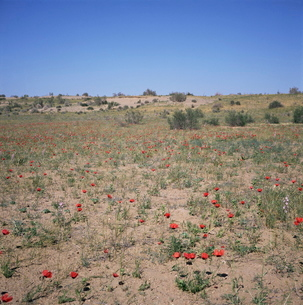 Poppies flowering in the desert for a few days each spring, Kara Kum desert, Uzbekistan, C.I.S.の写真素材 [FYI03761870]