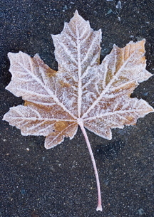 Frost covered leaf on tarmac roadの写真素材 [FYI03762065]