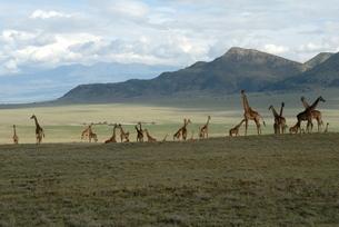 Ngorongoro Conservation Area, Tanzaniaの写真素材 [FYI03762224]