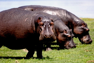 Grazing hippos, Chobe National Parkの写真素材 [FYI03762275]