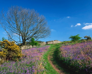 Rural scene with bluebells and footpath, near Brecon, Powys, Walesの写真素材 [FYI03762519]
