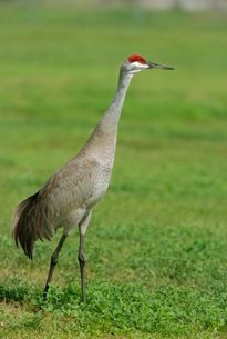 A sandhill crane, South Florida, USAの写真素材 [FYI03762543]