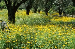 Wild flowers in olive grove, Lesbos (Lesvos) islandの写真素材 [FYI03762551]
