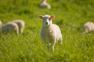 Lamb, North Island, New Zealandの写真素材 [FYI03762600]
