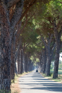 Pine tree lined road with small Piaggio three wheeled van travelling along it, Tuscanyの写真素材 [FYI03762846]