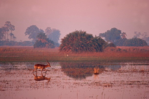 Tranquil scene of a single red lechwe (Kobus lechwe) walking and reflected in water in the evening,の写真素材 [FYI03762988]