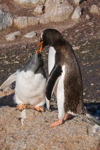Gentoo penguin feeding large chick, Gourdin Island, Antarctic Peninsula, Antarcticaの写真素材 [FYI03763381]