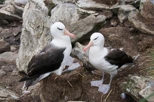 Black browed albatross, West Point Islandの写真素材 [FYI03763424]
