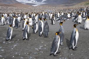 King penguins, St. Andrews Bay, South Georgia, South Atlanticの写真素材 [FYI03763475]