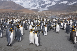 King penguins, St. Andrews Bay, South Georgia, South Atlanticの写真素材 [FYI03763477]