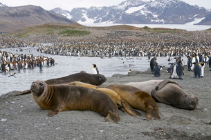 Young elephant seals and king penguins, St. Andrews Bay, South Georgia, South Atlanticの写真素材 [FYI03763481]