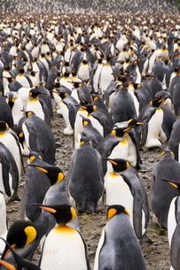 King penguins, Salisbury Plain, South Georgia, South Atlanticの写真素材 [FYI03763485]