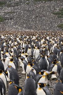 King penguins, Salisbury Plain, South Georgia, South Atlanticの写真素材 [FYI03763488]