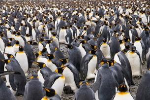 King penguins, Salisbury Plain, South Georgia, South Atlanticの写真素材 [FYI03763489]