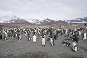 King penguins, St. Andrews Bay, South Georgia, South Atlanticの写真素材 [FYI03763493]