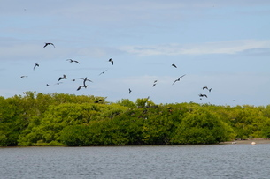 World's largest colony of Frigate Birds (Fregata magnificens) in the lagoon, Barbuda, Antigua and Baの写真素材 [FYI03763657]
