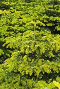 Fir treesの写真素材 [FYI03763993]
