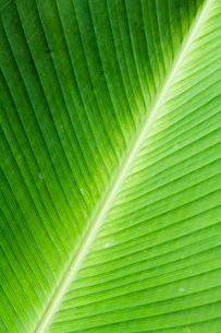 Leaf, Arenal area, Costa Ricaの写真素材 [FYI03764061]
