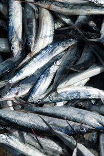 Fresh fish just caught, Tarrafal, Santiago, Cape Verde Islandsの写真素材 [FYI03764239]