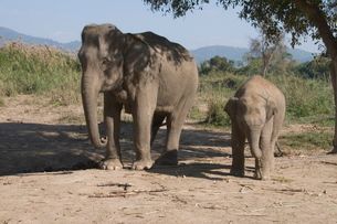 Elephants, Golden Triangle, Thailandの写真素材 [FYI03764522]