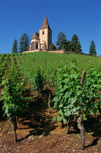 Vines lead up to church above the vineyard at Hunawihr in Alsaceの写真素材 [FYI03764565]