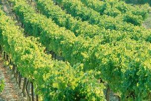 Row of vines in a vineyardの写真素材 [FYI03764705]