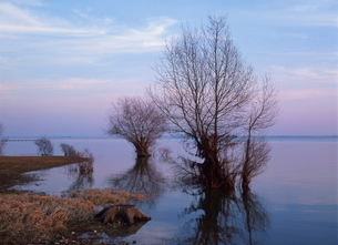 Tranquil scene of bare tree reflected in the water of the lake in winter, Lac du Der Chantecoq in thの写真素材 [FYI03764833]