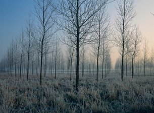Landscape of trees in a plantation at dawn or dusk, in frost during winter, near Montreuil, Nord Pasの写真素材 [FYI03764862]