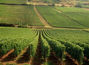 Vineyards near Lugny, Burgundy (Bourgogne)の写真素材 [FYI03764871]