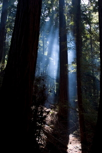 Redwood forest, Ventana, Big Surの写真素材 [FYI03764903]