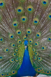 Peacock displaying tail feathersの写真素材 [FYI03765235]