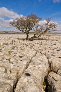 Tree growing through the Limestone pavement of White Scars, Yorkshire Dales National Park, Yorkshireの写真素材 [FYI03765312]