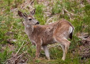 Mule deer (Odocoileus hemionus), Mariposa Grove, Southern Yosemite, Yosemite National Park, Sierra Nの写真素材 [FYI03765390]