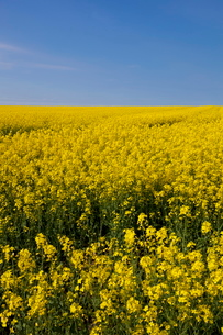A bright yellow field of oilseed rape (rapeseed oil) (Brassica napus) flowers, and blue sky, Nottingの写真素材 [FYI03765391]