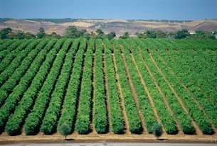Vine rows, McLaren Vale-Maxwell Winesの写真素材 [FYI03765441]