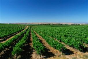 Vineyards, Oliverhill Wines, McLaren Vale, South Australiaの写真素材 [FYI03765443]