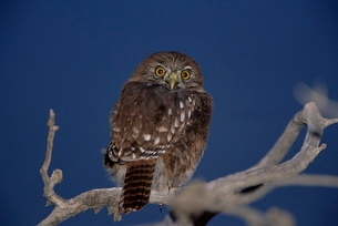 An austral pygmy owl (Glaucidium nanum) sitting on a tree, Torres del Paine National Parkの写真素材 [FYI03765715]