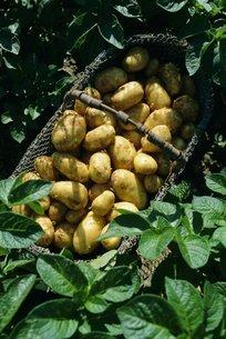 Potatoes in a wire basket, Saint Clement (St. Clement) Commune, Ile de Re, Charente Maritimeの写真素材 [FYI03765769]