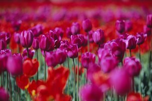 Tulips, bulbfields, Holland (The Netherlands)の写真素材 [FYI03766152]