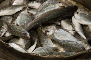 Fish in a Panの写真素材 [FYI03766494]