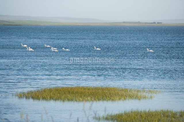 Swans, Orkney Islands, Scotlandの写真素材 [FYI03766759]