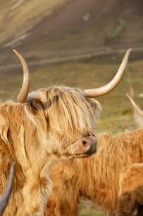 Highland cattle, Skye, Scotlandの写真素材 [FYI03766821]