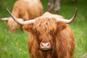 Highland cattle, Scotlandの写真素材 [FYI03766912]