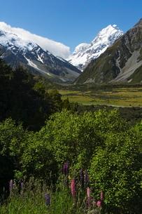 Lupins in flower below Aoraki (Mount Cook), 3755m, the highest peak in New Zealand, Te Wahipounamu ,の写真素材 [FYI03767303]