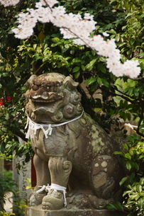A mythical lion statue and cherry blossom in a temple in Kyoto, Honshu Island, Japanの写真素材 [FYI03767411]