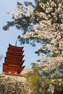 Spring cherry blossom at Senjokaku five storey pagoda, Miyajima island, Honshu Island, Japanの写真素材 [FYI03767418]