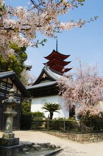 Spring cherry blossom at Senjokaku five storey pagoda, Miyajima island, Honshu Island, Japanの写真素材 [FYI03767421]
