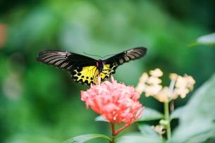 Butterfly Park, Kuala Lumpur, Malaysia, Southeast Asiaの写真素材 [FYI03767614]